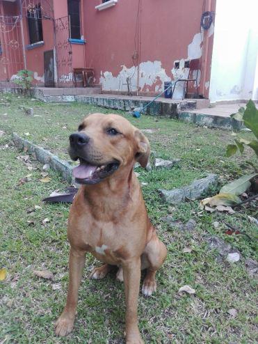 Honduras_h4h_Cholo_dog